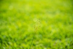 在明亮的日出counterlight的野草 免版税库存照片