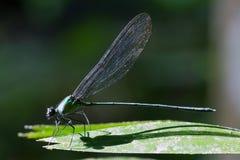在明亮的早晨太阳下的一只蜻蜓 免版税库存图片