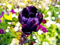 在明亮的春天的精美美丽的黑暗的伯根地郁金香弄脏了背景 宏指令 一朵开花的郁金香花 免版税库存图片