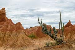 在明亮的橙色峡谷的仙人掌在Tatacoa沙漠 免版税图库摄影