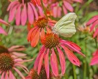 在明亮的橙色锥体花的黄色白蝴蝶外形 免版税库存图片