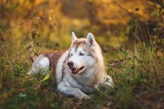 在明亮的秋天森林里的华美和自傲西伯利亚爱斯基摩人狗外形画象在日落 库存照片