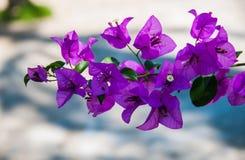 在明亮的紫色花 免版税库存照片