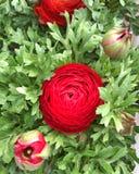在明亮的红色的一朵Ranuncula花 免版税图库摄影