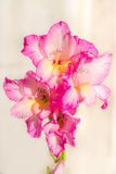 在明亮的背景的桃红色百合 免版税图库摄影