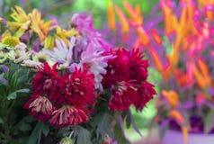 在明亮的背景的红色和桃红色翠菊 图库摄影