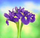 在明亮的自然的美丽的黑暗的紫色虹膜花 免版税库存图片