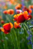 在明亮的花卉背景的鸦片花 免版税图库摄影