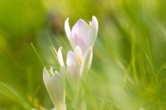 在明亮的草的番红花 免版税库存图片