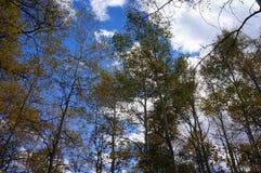 在明亮的蓝天前的亚斯本树与云彩 免版税库存图片