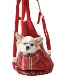 在明亮的袋子的奇瓦瓦狗狗宠物承运人的 库存照片