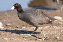 在明尼苏达河的美国傻子在春天迁移期间-在明尼苏达谷全国野生生物保护区 免版税库存图片