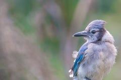 在明尼苏达河附近的蓝色尖嘴鸟在明尼苏达谷全国野生生物保护区 库存照片
