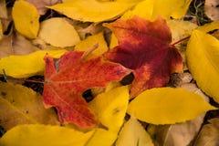 在明尼苏达秋天的金黄叶子 图库摄影