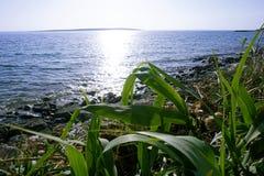 在明显地蓝色海附近的绿色年轻草芦苇属有太阳的发出光线反射在水 库存图片