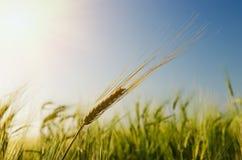 在星期日之下的绿色大麦 库存图片