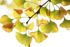 在星期日之下的黄色银杏树叶子 免版税库存照片