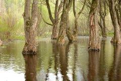在春天充斥的成人树 免版税库存照片