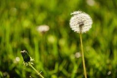 在春天光的蒲公英 库存图片