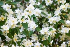 在春天公园关闭的美丽的开花的苹果树  库存照片