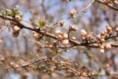 在春天关闭的开花的苹果树与开头芽和花 免版税图库摄影