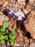 在春天关闭的紫色蓝色勿忘草花近的石头 免版税图库摄影