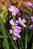 在春天关闭的紫色蓝色勿忘草花 免版税库存图片