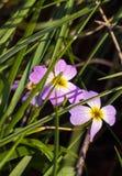 在春天关闭的紫色蓝色勿忘草花 免版税库存照片