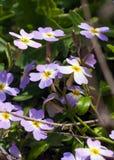 在春天关闭的紫色蓝色勿忘草花 库存照片