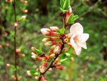 在春天分支的樱桃花 库存图片