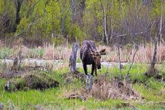在春天吃的一个幼小公牛麋 库存图片