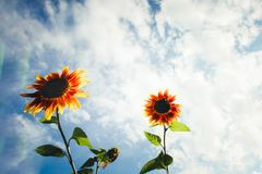 在春天和夏天期间,与绿色茎的黄色和橙色向日葵反对与云彩和透镜的晴朗的蓝天飘动 免版税库存图片