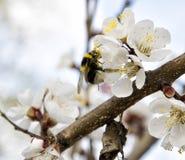 在春天土蜂的桃红色杏子开花 免版税库存图片
