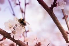 在春天土蜂的桃红色杏子开花 免版税库存照片
