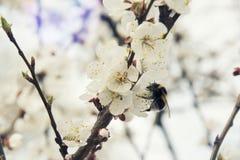 在春天土蜂的桃红色杏子开花 库存照片