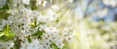 在春天太阳的白色开花 免版税库存照片