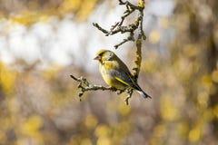 在春天太阳的Greenfinch 免版税库存图片
