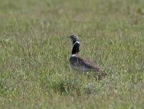 在春天干草原的小鸨鸟男。 免版税库存图片