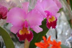在春天开花的兰花 库存图片