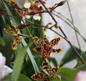 在春天开花的兰花 图库摄影