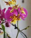 在春天开花的兰花 免版税图库摄影