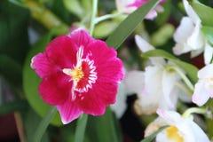 在春天开花的兰花 免版税库存图片