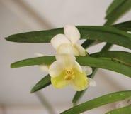 在春天开花的兰花 免版税库存照片