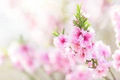 在春天开花的树 免版税图库摄影