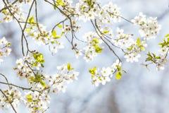 在春天开花的树 免版税库存照片