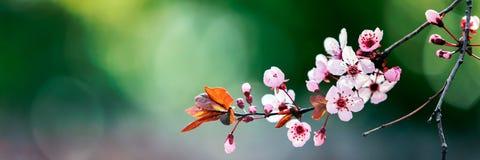 在春天开花的树 免版税库存图片