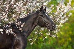 在春天开花的黑公马画象 库存图片