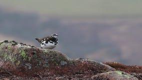 在春天换毛的男性雷鸟雷鸟属muta栖息和走在cairngorm国家公园,在4月期间的苏格兰 股票录像