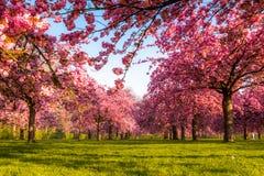 在春天日出的充满活力的樱桃树领域 免版税库存图片
