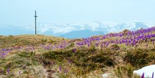 在春天早晨山的紫色番红花花 库存照片